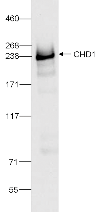 CHD1 Antibody validated in Western Blot