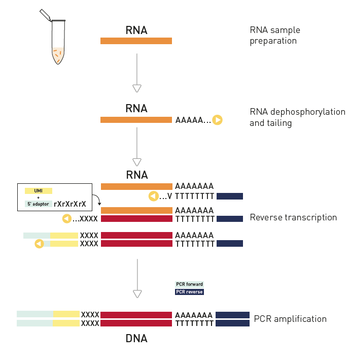 D-Plex small RNA library preparation with UMI workflow for Illumina